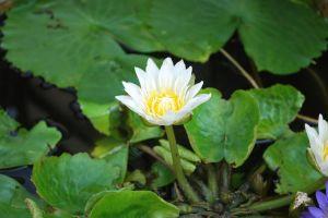lotus flower lotus flower