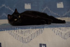 mignon félin poils noir animal sofa animal de compagnie chat regard couche
