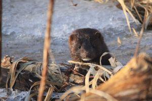 mink nature winter