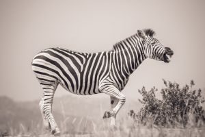 nature africa black and white mothernature wild wildlife photography animals stripes wild animals south africa
