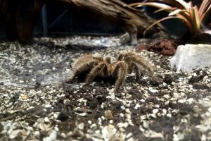 nature exotic hairy wildlife dangerous scary creepy halloween indoors closeup