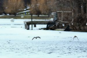 nature ice flying ducks winter gull