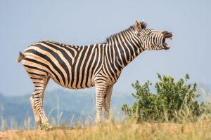 park stripes wild landscape zebra wilderness close-up daylight blurred background field