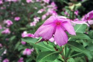 periwinkle macro closeup pink flower flowers