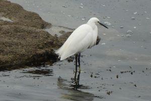 piscivore sauvage blanc échassier plumage oiseau ocean faune mer aigrette