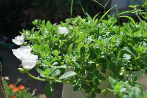 plant flower white flower