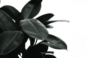 plant grayscale texture rubber close-up black-and-white white background pattern growth houseplant