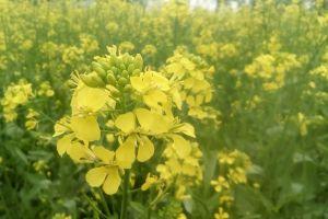 plant wallpaper mustard nature