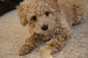 puppy puppies dogs toypoodle cute