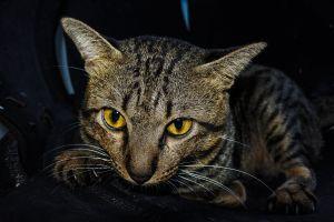 purebred cute shorthair furry mammal beautiful cat small playful carnivore