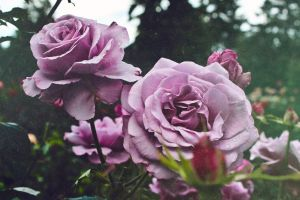 purple flower roses mother nature rose beauty in nature flower pink rose color bloom