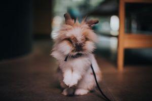 rabbit selective focus domestic animals furry animal portrait blurred background animal blur bunny collar