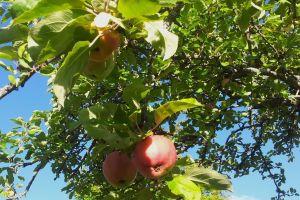 red apples tree garden fresh fruit garden plant apple tree