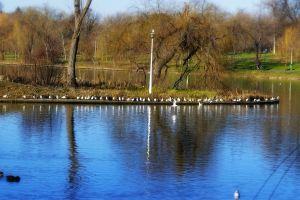 reflections trees park water nature gulls ducks