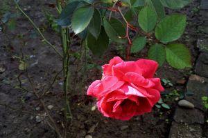 rose flower beautiful nature