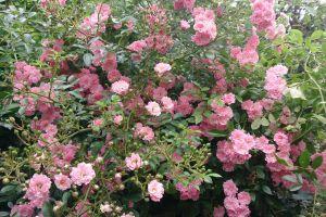rose garden roses bush