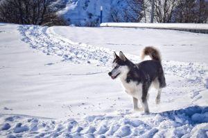 snow mountain dog