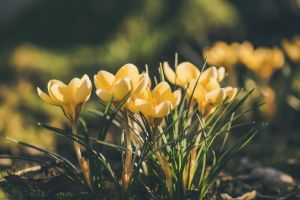 spring flowers flowers garden flower crocus yellow springtime garden spring flower