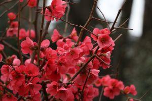 stem bright cherry blossom flowers