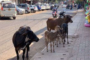 street india sacred cows cow cows