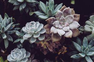 succulent beautiful natural hd wallpaper texture succulent plants growth close-up indoor plants 4k wallpaper