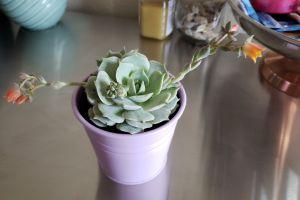 succulent plant plant succulent flower
