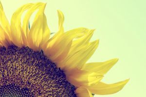 sunflower flower yellow summer bloom