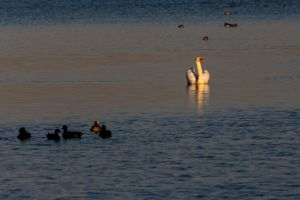 swan zwaan sunrise