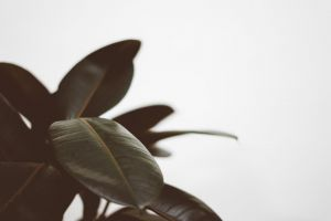 texture plant white background close-up depth of field houseplant freshness fresh blur rubber