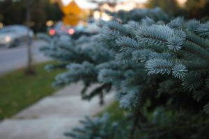 tree branches branches needles sidewalk pine tree branch mothernature cars headlights close to