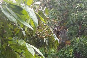weather nature water drops trees water plants fruits rain raining wet