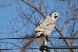 winter nature owl snowy owl
