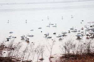 winter nature swan scenery