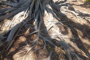 wood fig tree roots botanical beauty in nature nature tree root nature life spreading root