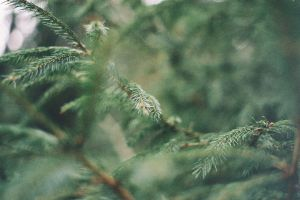 woods christmas tree old camera forest 35mm close up green