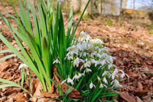 woods green snow drops brown wood white daffodil daffodils snpwdrops