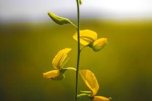 yellow background garden plant flower mine flowers tiny yellow golden yellow macro night
