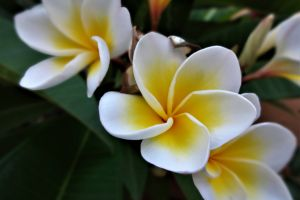 yellow garden botanical tropical nature beauty in nature white fresh flowers close up green