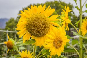 yellow garden sunflower grow yellow flower country nature nature photography flowers