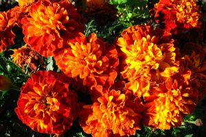 yellow marigold plant orange flower