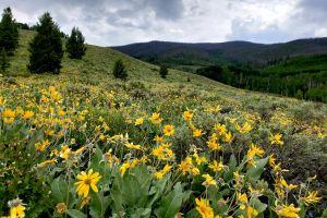 yellow mountain field flowers
