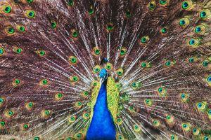 zoo beautiful plumage peafowl animal павлин peacock
