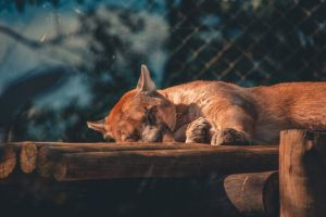 zoo relaxation blur felidae mammal lying animal cougar sleeping lying down