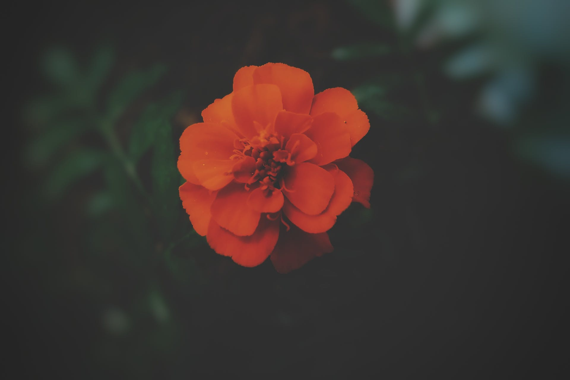 garden plant black background marigold hdr blurred hd wallpaper garden flower focus beautiful flowers blurred background