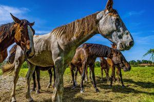 animal portrait brown horse animal eat nature coupling pasture bavaria meadow ride
