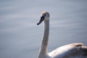 animal water macro blurred background close up blurred swan vistula