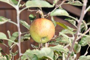 apple reif apfel erntereif