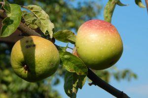 apple vegetable gardening green tree nature freshness color fruit healthy