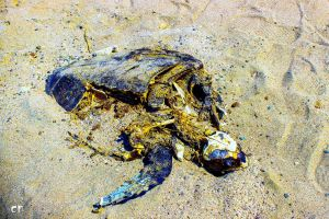 beach death tortoise sea animal