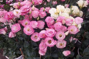 beautiful flower pink roses beautiful flowers